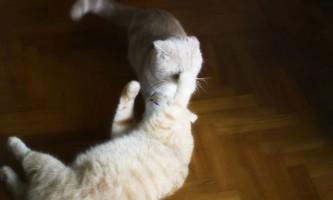 Правила в`язки шотландських прямоухих кішок (скоттиш страйт)