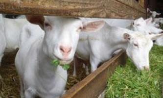 Правила вибору та показники продуктивності кіз молочних порід