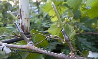 Правильна обрізка винограду