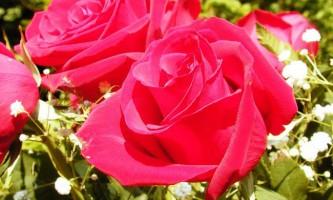 Правильна посадка троянд навесні