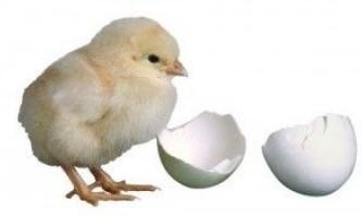 Правильно вибираємо добових курчат