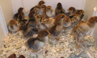 Правильне годування курчат