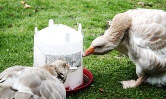 Правильний раціон харчування гусей і гусенят