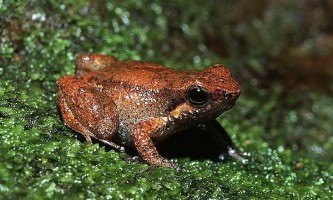 Правило жаб-древолазов: хочеш бути отруйним - тренуйся!