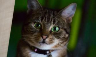 Празітел для кішок і кошенят: інструкція із застосування