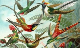 Предки колібрі відділилися від стрижів приблизно 42 мільйони років тому