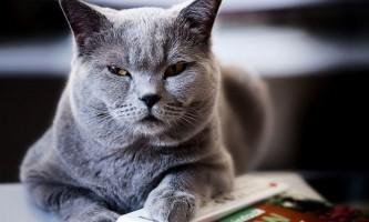 Преднізолон для кішок