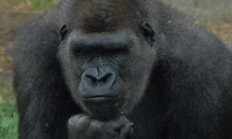 Предок людини має схожість з горилою