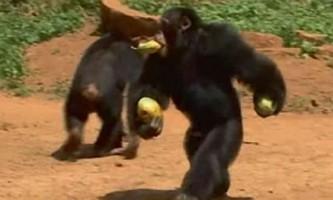 Можливо, жадібність навчила приматів прямоходіння