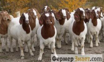 Переваги та недоліки розведення кіз бурської породи