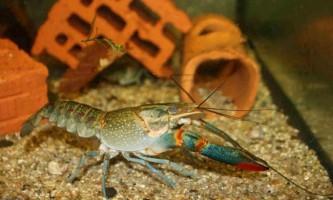 Прісноводні раки і їх життя в акваріумах