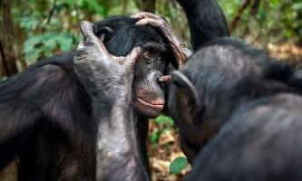 Престарілим бонобо теж потрібні очки
