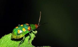 При зміні погоди самки комах виділяють менше феромонів