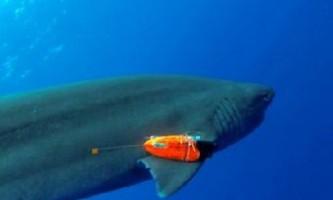За допомогою датчиків учені зможуть більше дізнатися про харчові пристрасті акул
