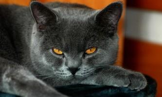 Причини порушення поведінки у британських кішок