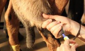 Причини появи, симптоми і лікування маститу у кіз