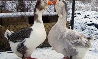 Як безпомилково визначити стать у гусей?