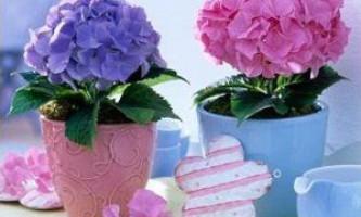 Причини жовтінню і засихання листя гортензії