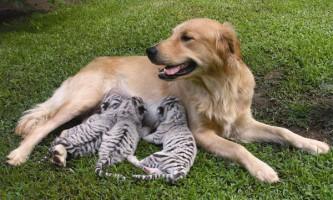 Прийомні мами серед тварин