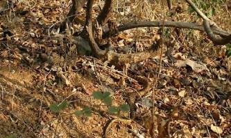 Примати стали краще бачити завдяки зміям
