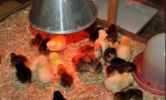 Застосування інфрачервоної лампи для курчат
