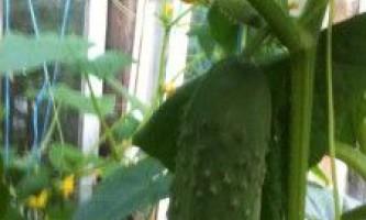 Прищіпка огірків