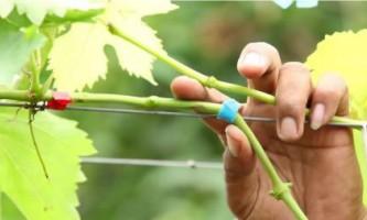 Щеплення винограду, робимо правильно