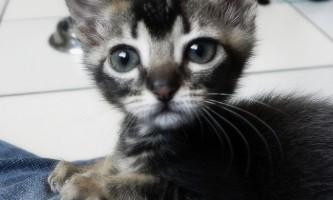 Щеплення кошенятам і дорослим кішкам: графік вакцинації