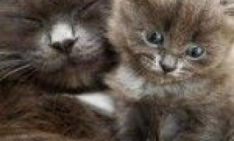 Ознаки та терміни вагітності у кішок