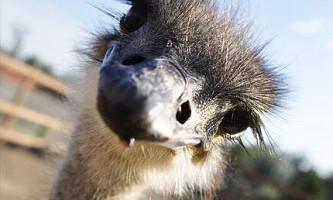 Ховають чи страуси голову в пісок?