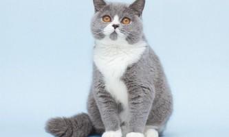Проблеми розведення складних забарвлень британських кішок