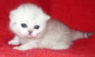 Продаж британських кошенят