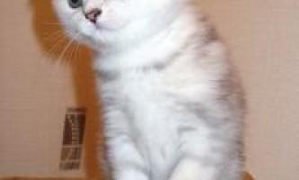 Продаж висловухих кошенят з розплідника