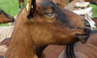 Продуктивність і опис чеської породи кіз, достоїнства і недоліки