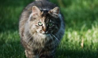 Профендер для кішок: інструкція із застосування