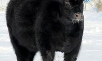Походження та опис екстер`єру плюшевих корів