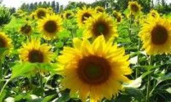 Соняшник сорти