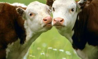 Виробництво молока шкідливо для екології