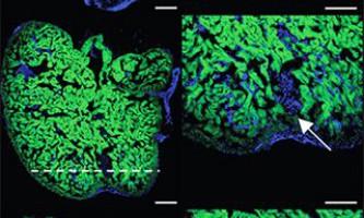 З`ясовано механізм регенерації тканин серцевого м`яза у риб