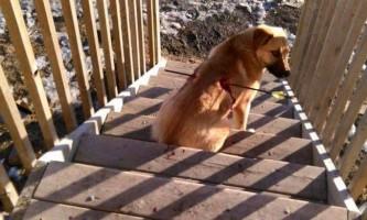 Простреленою наскрізь канадському псу вдалося вижити