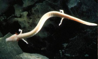 Протеї - незвичайні печерні істоти