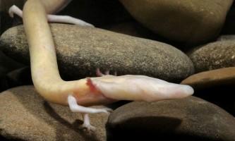 Протей європейський, або дракон олм (лат. Proteus anguinus)