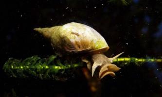 Прудовікі: опис прісноводних молюсків