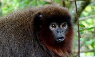 Стрибуни або тити - мавпи південної америки