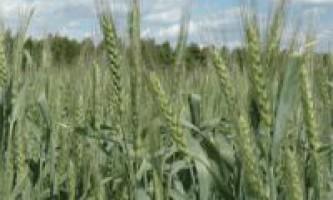 Пшениця озима волзький до