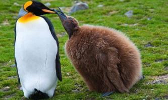 Пташенята пінгвінів здатні знижувати температуру тіла