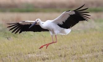 Птах лелека: фото, опис, види