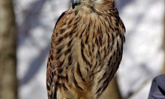 Птах болотний лунь - житель очеретяних заростей