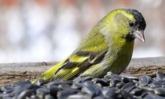 Птах чиж: що говорить наука про співочої птаха?