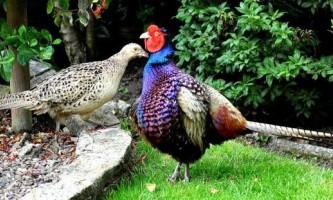 Птах фазан: в чому її відмінність від інших пернатих?